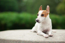 jack russell by eirik photography