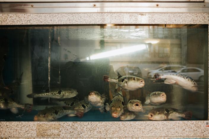 fugu pufferfish